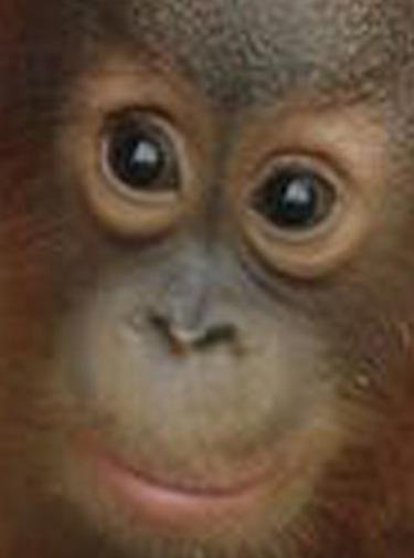Watch Movie meet-the-orangutans-season-1